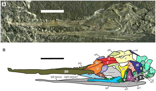 fósil de Eohupehsuchus brevicollis, cráneo