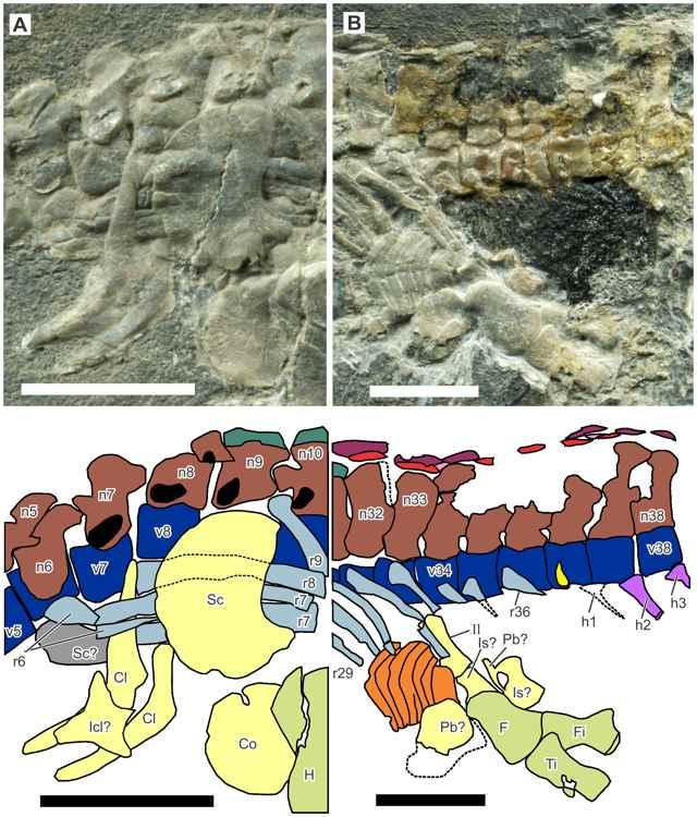 fósil de Eohupehsuchus brevicollis, pelvis
