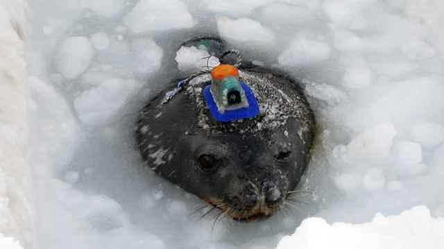 una foca con una cámara en la cabeza