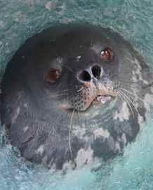 una foca de Weddell en la Antártida
