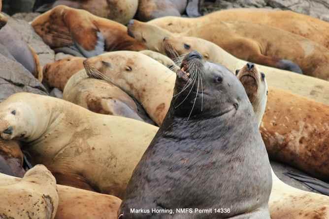 grupo de leones marinos de Steller