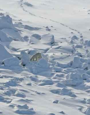 huellas de olor que deja el oso polar en el hielo marino