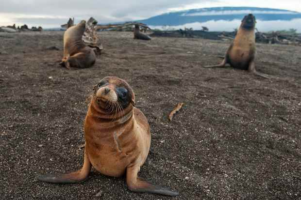 leones marinos de las islas Galápagos