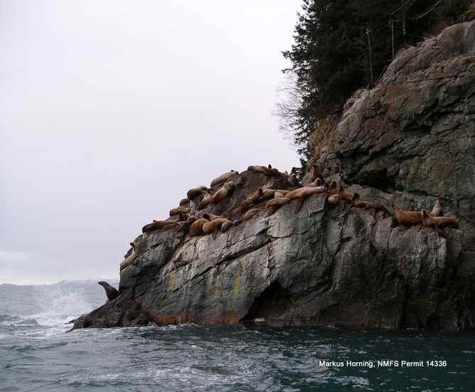 leones marinos de Steller