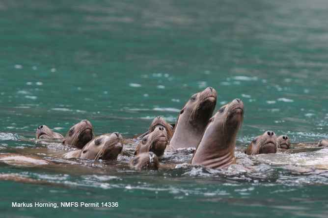 leones marinos en Alaska