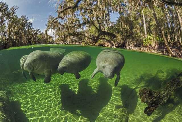 manatíes de Florida