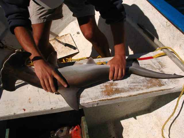 marcado y medida de un tiburón martillo
