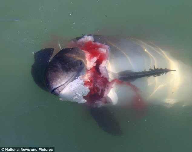 marsopa atacada por foca gris en Holanda