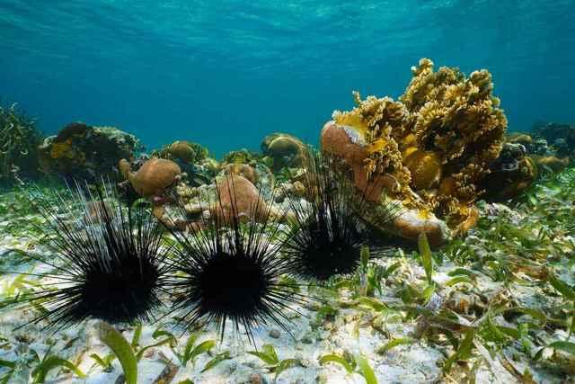 mortandad erizos marinos