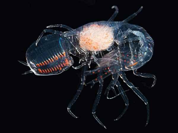 ojos de un camarón tienen 32 retinas