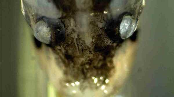 ojos de un Cyclothone microdon