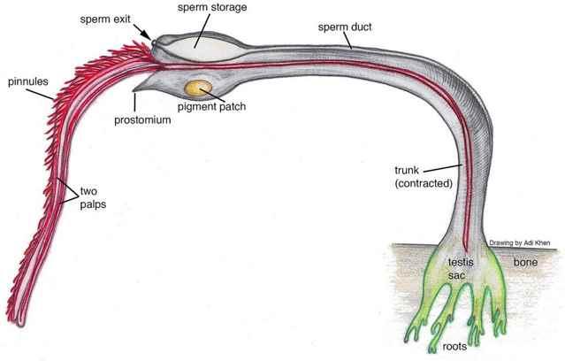 gusano marino Osedax priapus macho