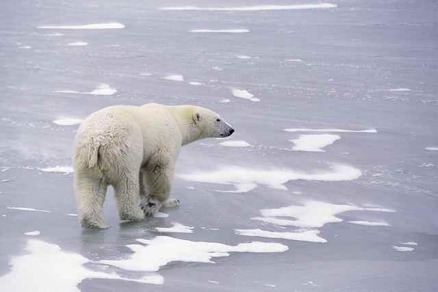 oso polar caminando en el hielo marino