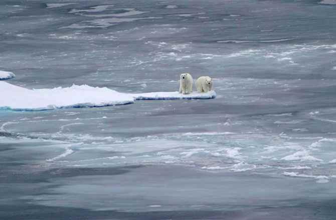osos polares en el hielo marino