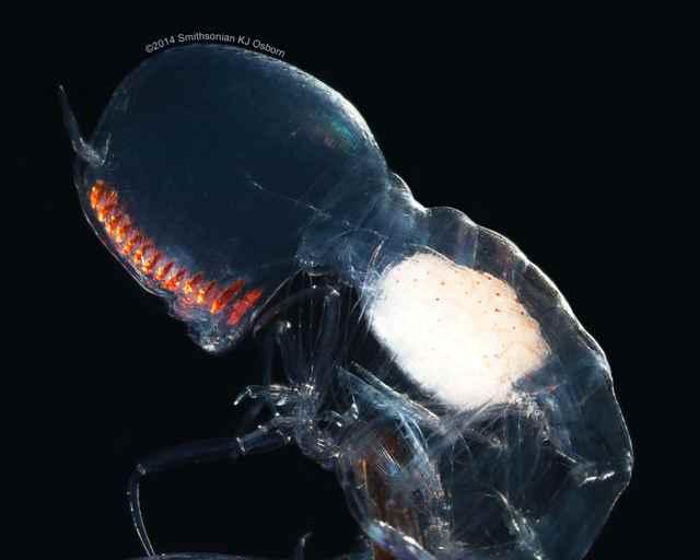 Paraphronima gracilis