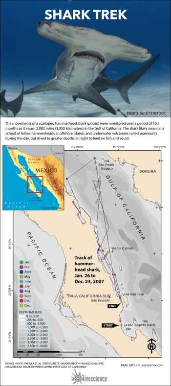 peregrinación del tiburón martillo en el Golfo de California