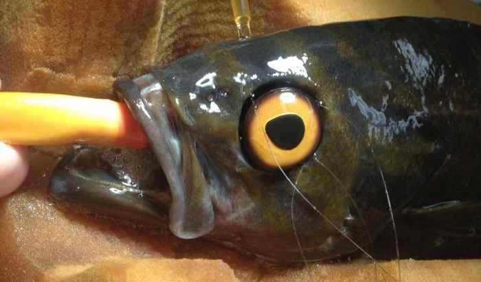 pez con un ojo de cristal
