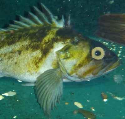 pez de roca cobrizo (Sebastes flavidus) con un ojo de cristal