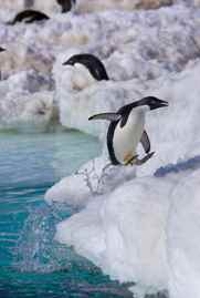 pingüino saltando fuera del agua