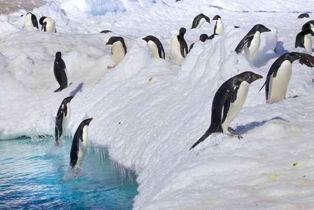pingüinos saltando fuera del agua