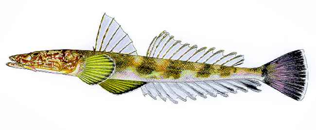 Platycephalus bassensis