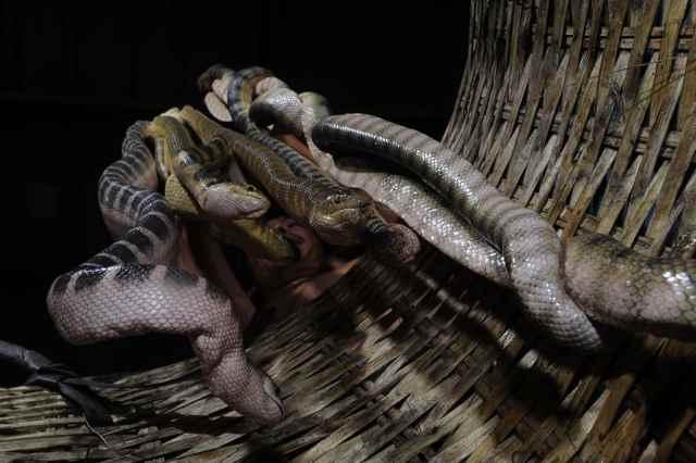 serpientes marinas venenosas en un cesto