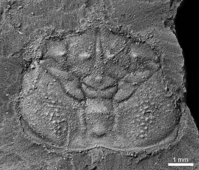 Telamonocarcinus antiquus