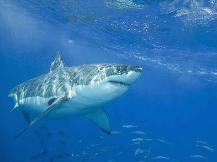 tiburón blanco en Sudáfrica