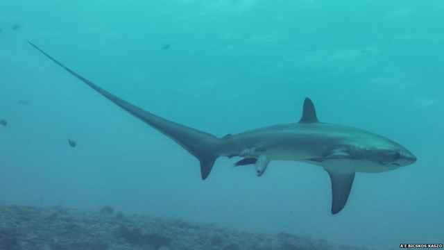 tiburón zorro dando a luz