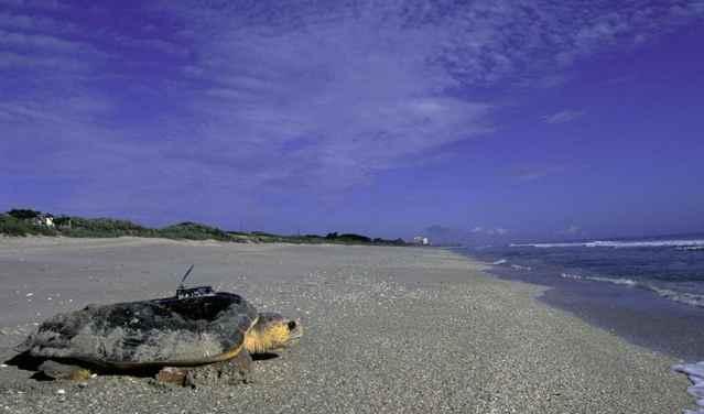 seguimiento de una tortuga caguama