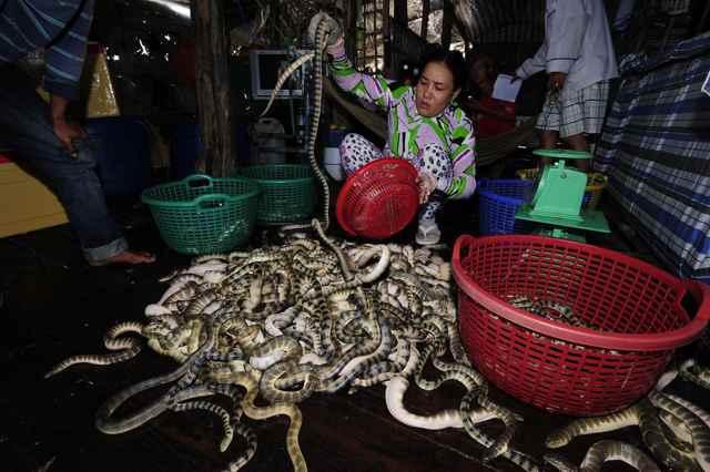 venta de serpientes marinas venenosas en Tailandia