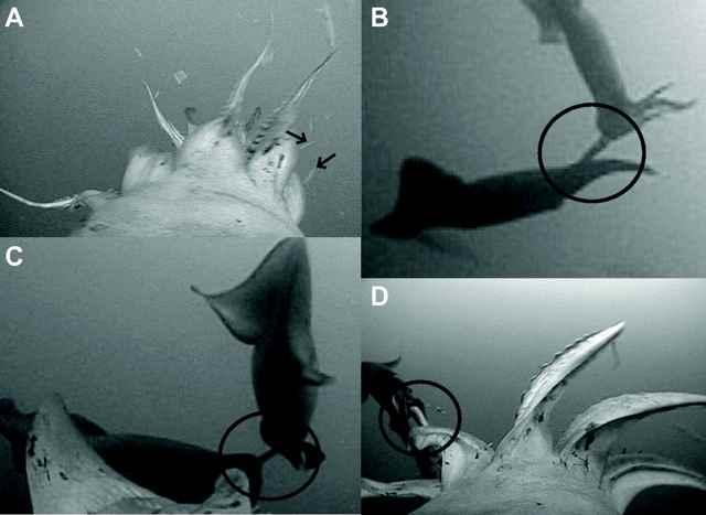 apareamiento del calamar de Humboldt