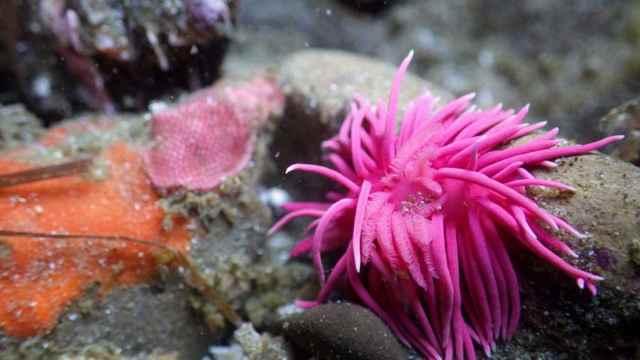 babosa de mar Okenia rosacea