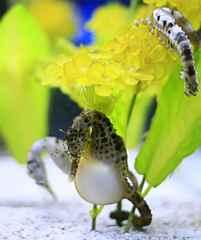 caballito de mar embarazado