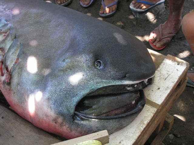 cabeza de un tiburón de boca ancha (Megachasma pelagios)