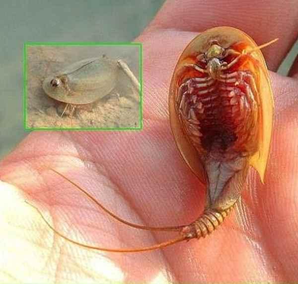 camarón de herradura comparación tamaño