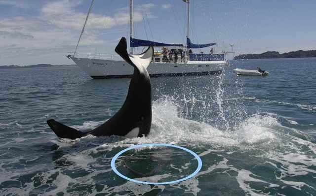 coletazo de una orca