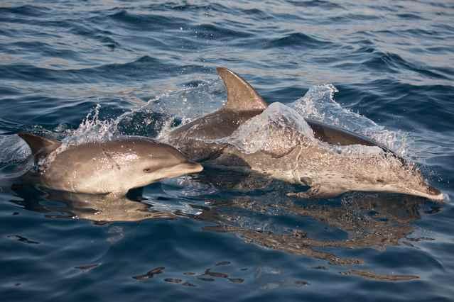 cría y adulto de delfín