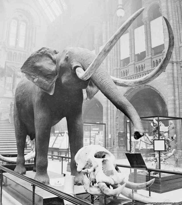 elefante museo h n londres