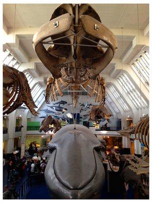 esqueleto de ballena azul en el Museo de Historia Natural de Londres, huesos escaneo