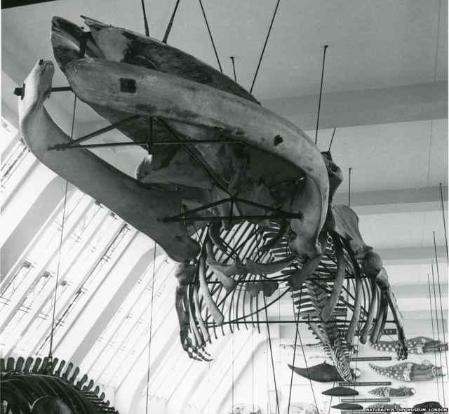 esqueleto de ballena azul en el Museo de Historia Natural de Londres, huesos