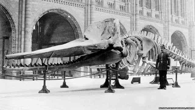 esqueleto de cachalote en el Museo de Historia Natural de Londres