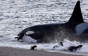orca varada en una playa para comer focas