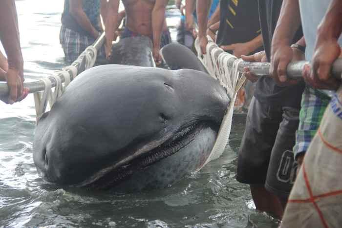 tiburón de boca ancha encontrado en Filipinas