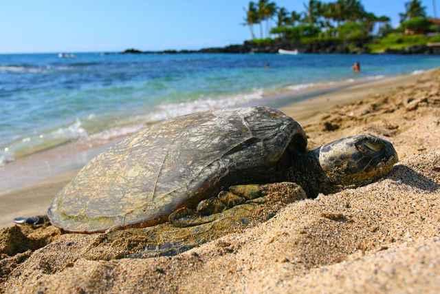 tortuga verde tomanso el sol en una playa