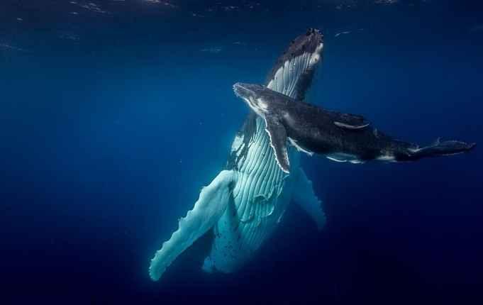 ballena jorobada y su cría