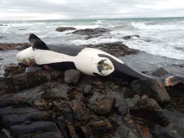 cadáver de la orca Lulú