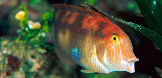 canibalismo en peces