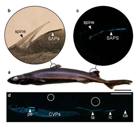 espinas con fotóforos del tiburón linterna negrito