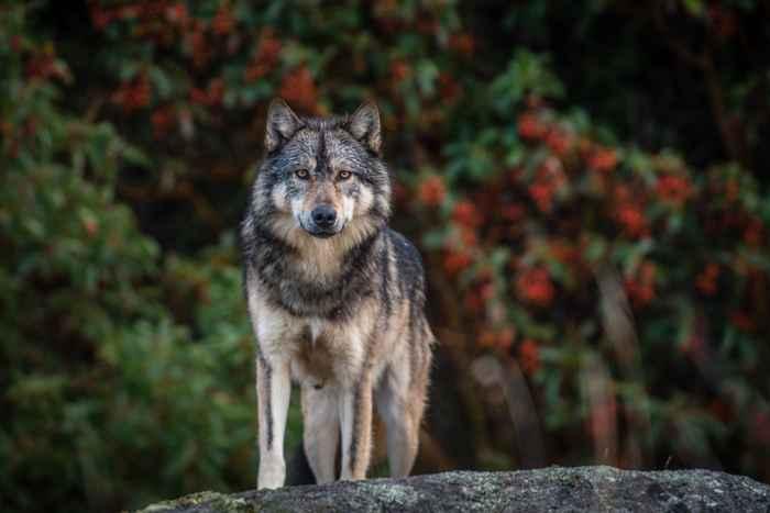 lobo solitario Staqeya